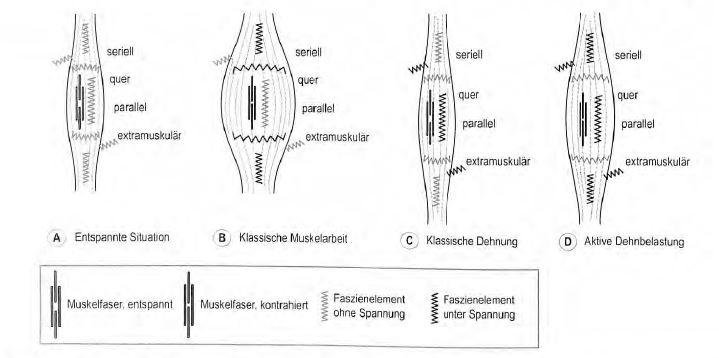 Abb. 7.24.4 Spannung unterschiedlicher Faszienanteile. (A) Entspannte Situation: Die Muskelfasern sind entspannt, der Muskel hat seine Ruhelänge eingenommen und die Faszie steht nirgendwo unter Spannung. (B) Klassische Muskelarbeit: Die Muskelfasern sind kontrahiert, die Muskeliänge ist im normalen Bereich. Fasziengewebeelement,die seriell oder quer zur Muskelfaser verlaufen, stehen unter Spannung, (C) Klassische Dehnung: Die Muskelfasern sind entspannt, der Muskel insgesamt verlängert. Extramuskuläre Verbindungen und die parallel zu den Muskelfasern verlaufenden Faszienelemente stehen unter Spannung. Die seriell zu den Muskelfasern angeordneten Faszienelemente werden dagegen nur wenig gedehnt, da die Elongationsspannung in dieser myofaszialen Kette von den entspannten Muskelfasern aufgenommen wird. (D) Aktive Dehnbelastung: Der aktive Muskel wird in den oberen Längenbereich gedehnt. Bei dieser Art der Belastung werden die meisten Faszienanteile gedehnt und stimuliert. Zwischen den vier dargestellten Faszienanteilen gibt es in der Realität Überschneidungen und Kombinationen. Diese vereinfachte Abstraktion dient also lediglich zur grundlegenden Orientierung.